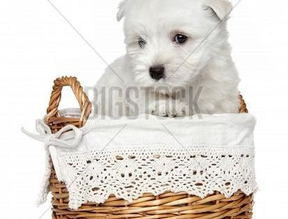 West Highland White Terrier Puppy 1 Month Poster In 2019 White