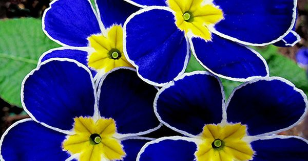 primrose blue yellow flowers