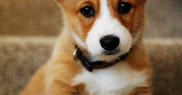 Corgi puppies are so adorable that little face could steal some hearts