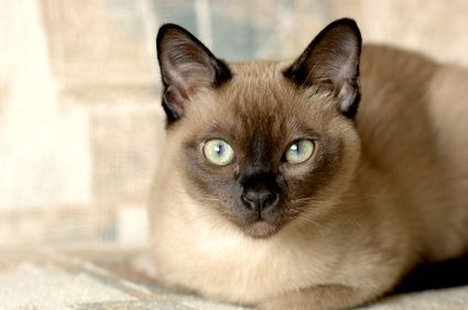 Chocolate Burmese Tonkinese Cat Burmese Cat Fluffy Cat Breeds