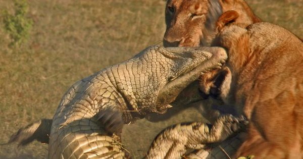 Crocodile/lioness fight - the lionesses won | Animal ...