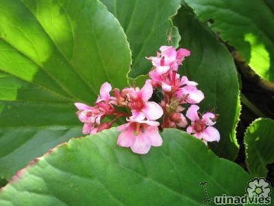 Bergenia Cordifolia Schoenlappersplant Een Vaste Plant Met Dikke Lederachtige Bladeren Met Afbeeldingen Planten Vaste Planten Bloeiende Planten