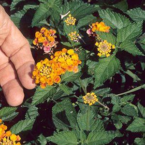 Lantana Camara Invasive Plants Plants Lantana