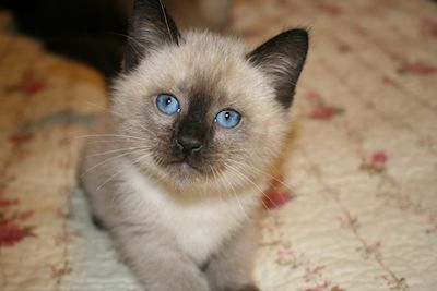 Traditional Siamese Cat Breeder Kittens For Sale Balinese Kittens For Sale Angora Cats Balinese Cat Turkish Angora Cat