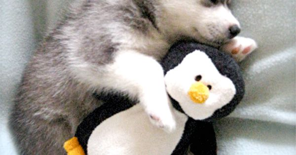 Husky Puppy Cuddling Stuffed Animal Penguin I Think He