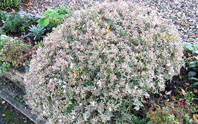Confetti Dwarf Abelia Abelia Grandiflora Confetti 3 Gallon