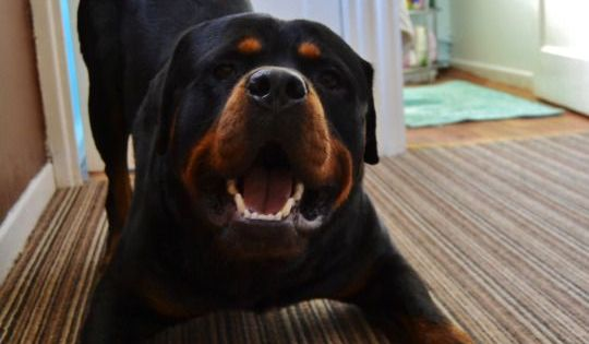 If You Weren T Sure How Amazing Rottweilers Really Are Then