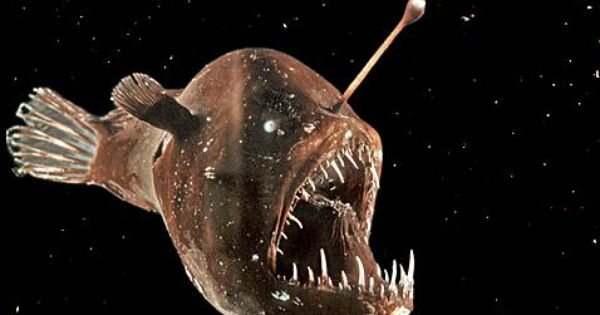 Real angler fish size for Angler fish mating