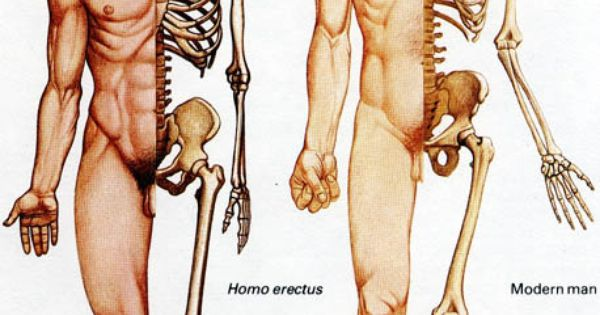 Sexual Dimorphism In Humans