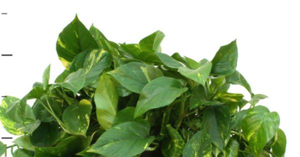 Pothos 10 best indoor plants to fight air pollution for Pollution fighting plants