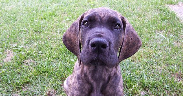 Black And Brindle Great Danes Of Recognized And Non