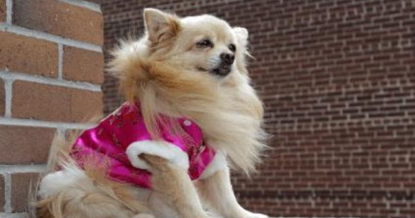 Pomeranian Pets Pomeranian Pomeranian Temperament Dogs
