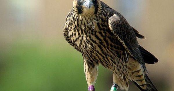 Peregrine Falcon Peregrine Falcon Peregrine Falcon Hunting