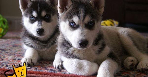 Huskies At Brisbane Dog Show