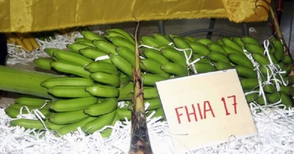 Fhia 17 Dual Purpose Yellow Desert Green Cooking Banana Comparable To The Yellow Bananas Cavendish Sold In North Cooking Bananas Detoxifying Fruits Banana