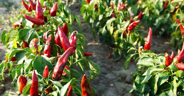 capsicum annuum or chili peppers being grown to make