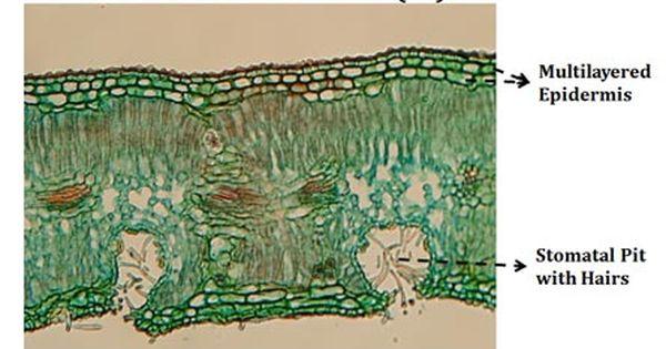 Nerium Leaf Diagram Leaf Structure Nerium Things Under A Microscope