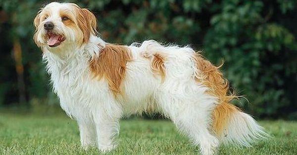 Kromfohrlander Zuverlassiges Zufallsprodukt Hunde Haustiere Tiere