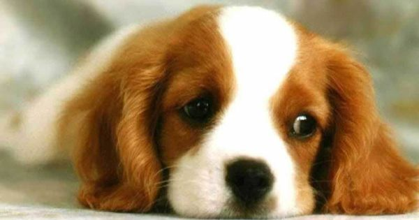 Cavalier King Charles, if I were to ever have another small dog,