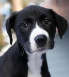 Attie Is An Adoptable Labrador Retriever Dog In Asheville Nc