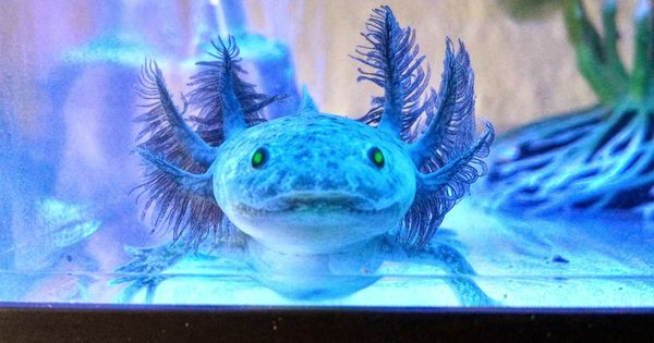 GFP purple axolotl | axolotl | Pinterest
