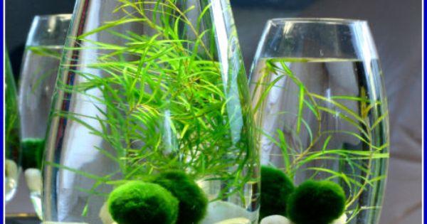 Details about 5 marimo moss balls 2 3cm live aquarium for Moss balls for fish tanks
