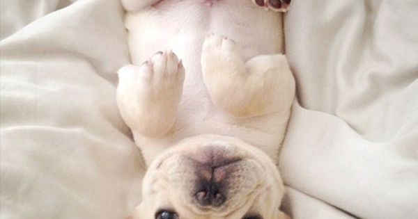The most adorable Frenchie Milo, is having a hard getting out of bed this morning! Give me one good reason why mommy! | See more about French Bulldogs, Bulldogs and Puppys.
