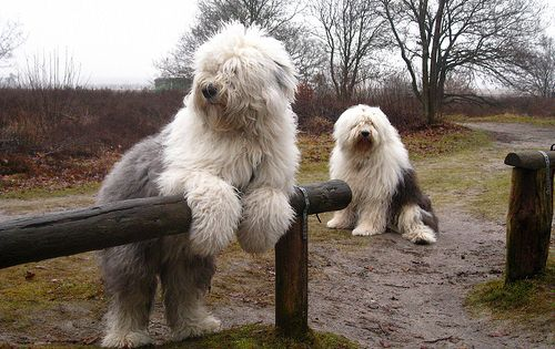 beautiful dog! Old English sheepdogs