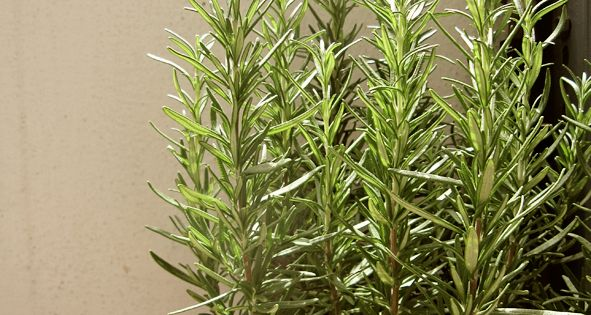 Rosemary: Tea made from a thumb-sized piece has been known to lift