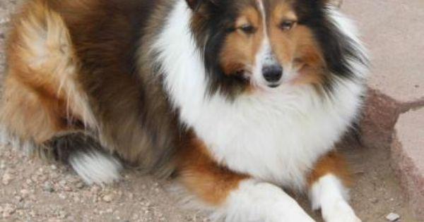 Meet Abilene A 9 Years Shetland Sheepdog Available For Adoption