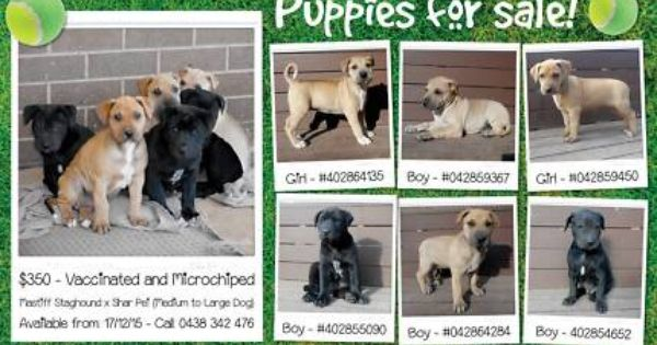 Mastiff Staghound X Shar Pei Puppies For Sale Dogs Puppies