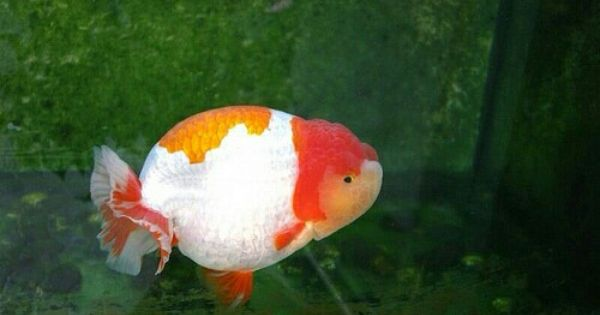 Orange And White Ranchu Goldfish Types Goldfish Aquarium Oranda Goldfish