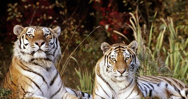 Tigers --- beautiful! The ONLY cats I like, are big cats. ;)