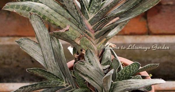 Gasteria family xanthorrhoeaceae cact es cactus for Plantes par correspondance