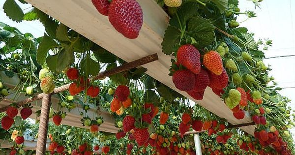 Grow strawberries in rain gutters! gardening garden planting fruits
