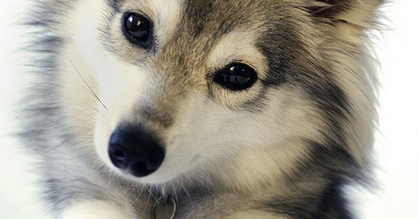 Alaskan Klee Kai (miniature Siberian Husky) They look like Husky puppies but