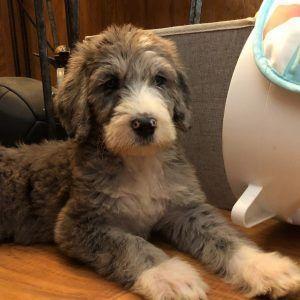 Great Danoodle Great Dane X Poodle Mix Poodle Mix Breeds