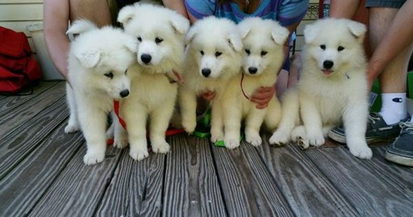 Litter Of 6 Samoyed Puppies For Sale In Jacksonville Nc Adn 25838 On Puppyfinder Com Gender Male Age Under Samoyed Puppies For Sale Samoyed Puppy Puppies