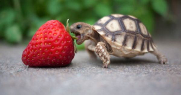 Nom nom nom ... Baby turtle meets strawberry.