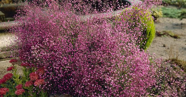 Thalictrum hewitt 39 s double delavayi 3 6 39 tall plant for Thalictrum rochebrunianum rhs