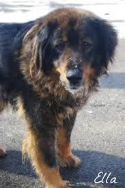 Image Result For Swiss Newfie Mix Http Ilovedogs Win German