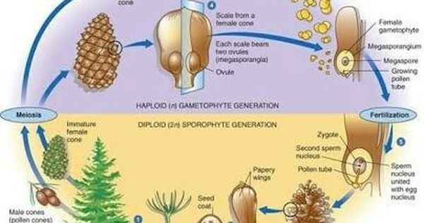 Pin By Diana Foster On Gymnosperms Tree Life Cycle Gymnosperm Teaching Biology