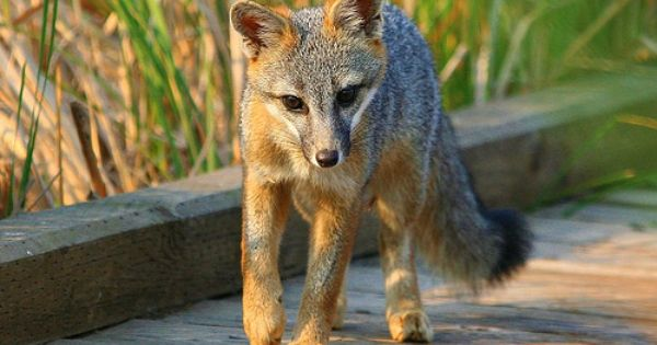 Pin By Karin E On Animals Pet Fox Fantastic Fox Fox Pictures