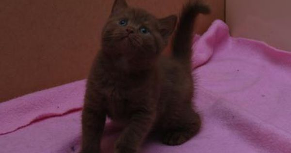 British Shorthair Cinnamon Kitten Pretty Cats British Shorthair Kittens Cutest