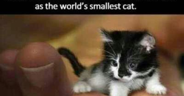 know it isnt real but its really cute smallest cat in the world guinness