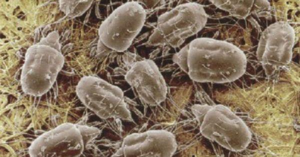 Organic Dust Mite Repellents Naturale Acari E Omeopatia