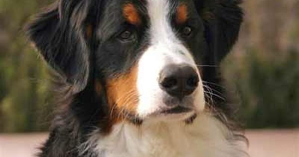 The Bernese Mountain Dog Called In German The Berner Sennenhund Is A Large Breed Of Dog One Of The Four Bernese Mountain Dog Mountain Dogs Bernese Mountain