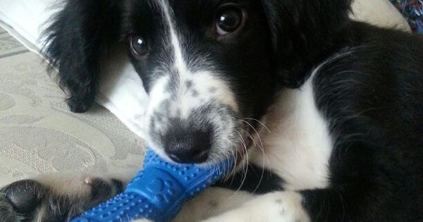 Travis the sprollie 12 weeks old Border Collies