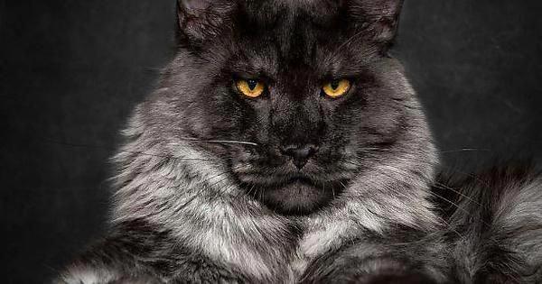 Cats Craigslist Catsandchocolate Cat Has Fleas Cats Cat Adoption