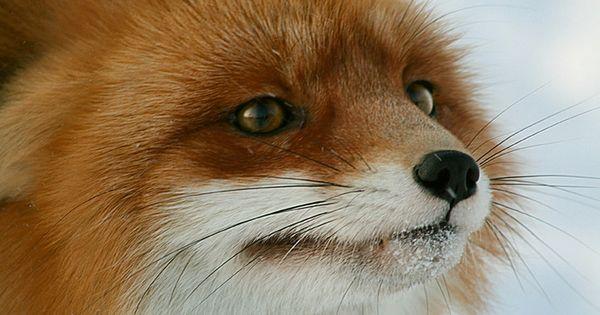 Fox Cub Smiling - Imgur